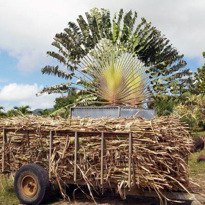 Guadeloupe. Zuckerrohr