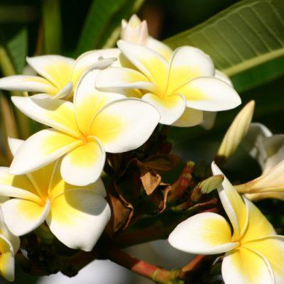 Réunion. Frangipani
